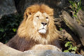 The african lion king of the beasts lazy looking portrait Royalty Free Stock Images