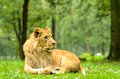 African lion male at longleat safari park uk Stock Photography