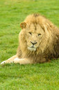 African lion male at longleat safari park uk Stock Images