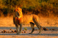 African Lion, Panthera Leo, De...