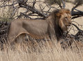 An African Lion (Panthera Leo) in the wild. Royalty Free Stock Photo