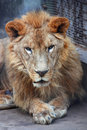 African lion-positive Royalty Free Stock Photo