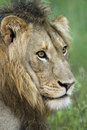 African lion in rain looking pensive Stock Photo
