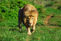 African lion walking full body front view of a big with long mane and a bloody nose in a game park in south africa Stock Image