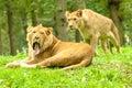 African lion yawn male yawning at longleat safari park uk Stock Photography