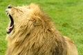 African lion yawn male yawning at longleat safari park uk Royalty Free Stock Photos