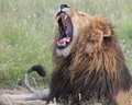 African Lion yawning Royalty Free Stock Photo