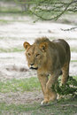 African lion a young male panthera leo with concenrtrated stare just starting to hunt Stock Photo
