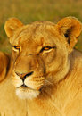 African Lioness Stock Photography