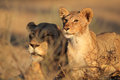 African lioness and cub panthera leo relaxing in early morning light kalahari desert south africa Royalty Free Stock Photography