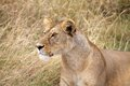African lioness panthera leo is hunting in the savanna Stock Images