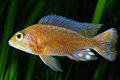 African malawi cichlid from lake in aquarium aulonocara Stock Photo