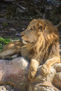 African male lion an resting under sunlight Stock Photography