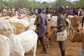 African men and cattle of the hamer ethnic group are choosing the bulls for the jumping of the bull ceremony near turmi ethiopia Royalty Free Stock Photos