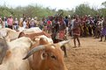 African men and cattle of the hamer ethnic group are choosing the bulls for the jumping of the bull ceremony near turmi ethiopia Royalty Free Stock Photography