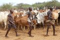 African men and cattle of the hamer ethnic group with tribal clothes are driving the to the place of the jumping of the bull Stock Images