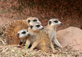 African mongoose in team Stock Photo