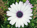 African moon daisy white natural of namibia here seen between the low vegetation Royalty Free Stock Photo