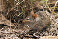 African mouse or rat looking for seeds to eat serengeti tanzania africa Stock Image