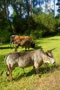 African Nguni bulls on pasture Stock Photos
