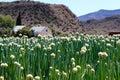 African Onion Farm