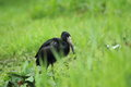 African openbill strolling in the grass Stock Images