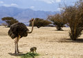 African ostrich in nature reserve, Israel Stock Photos