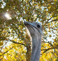 The African Ostrich Struthio camelus Royalty Free Stock Photo