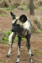 African painted wild dog lycaon pictus closeup Royalty Free Stock Image
