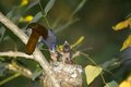 African paradise flycatcher terpsiphone viridis feeding chicks in kruger national park south africa Stock Photo