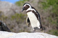 African Penguin Stock Photos
