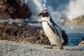 African Penguin. African Pengu...