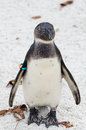 African penguin black footed Stock Image