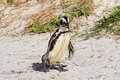 African penguin carrying nesting material Stock Image