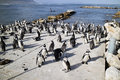 African penguin colony at Betty's Bay South Africa Royalty Free Stock Photo