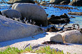African penguin colony in boulders republic of south africa Stock Photo