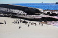 African penguin colony in boulders republic of south africa Stock Image