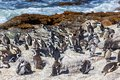 African penguin colony at Stony point in South Africa Royalty Free Stock Photo