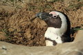 African penguin detail Royalty Free Stock Image