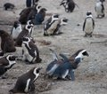 stock image of  African penguin family: mother feeds her two new born babies chickes. Cape town. South Africa.