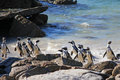 African penguin group of penguins jumping out from the ocean picture taken in republic of south africa Stock Photography