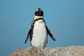 African penguin spheniscus demersus against a blue sky western cape south africa Royalty Free Stock Photography