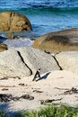 African penguin spheniscus demersus lone penguin western cape south africa this photo was taken in june at boulder beach walking Stock Image