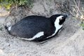 African penguin spheniscus demersus penguin western cape south africa this photo was taken in june at boulder beach nesting Stock Photography