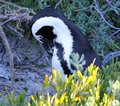 African penguin spheniscus demersus penguin western cape south africa this photo was taken in june at boulder beach preening Stock Photos
