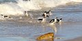 African penguin(Spheniscus demersus) Riding the Surf, Western Cape, South Africa Royalty Free Stock Photo