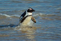 African penguin spheniscus demersus in shallow water western cape south africa Royalty Free Stock Photography
