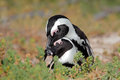 African penguins Royalty Free Stock Photo