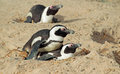 African penguins Stock Image