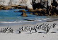 African penguins on the beach Royalty Free Stock Images